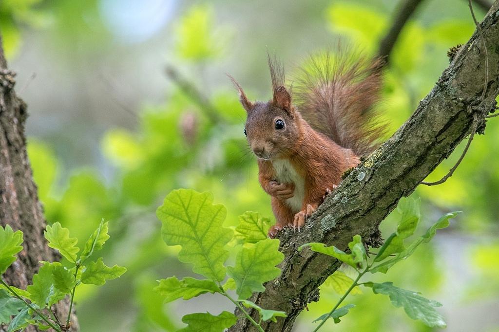 écureuil roux DX5_8292