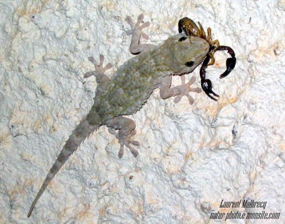 gecko a capturé un petit scorpion (cote d'azur)