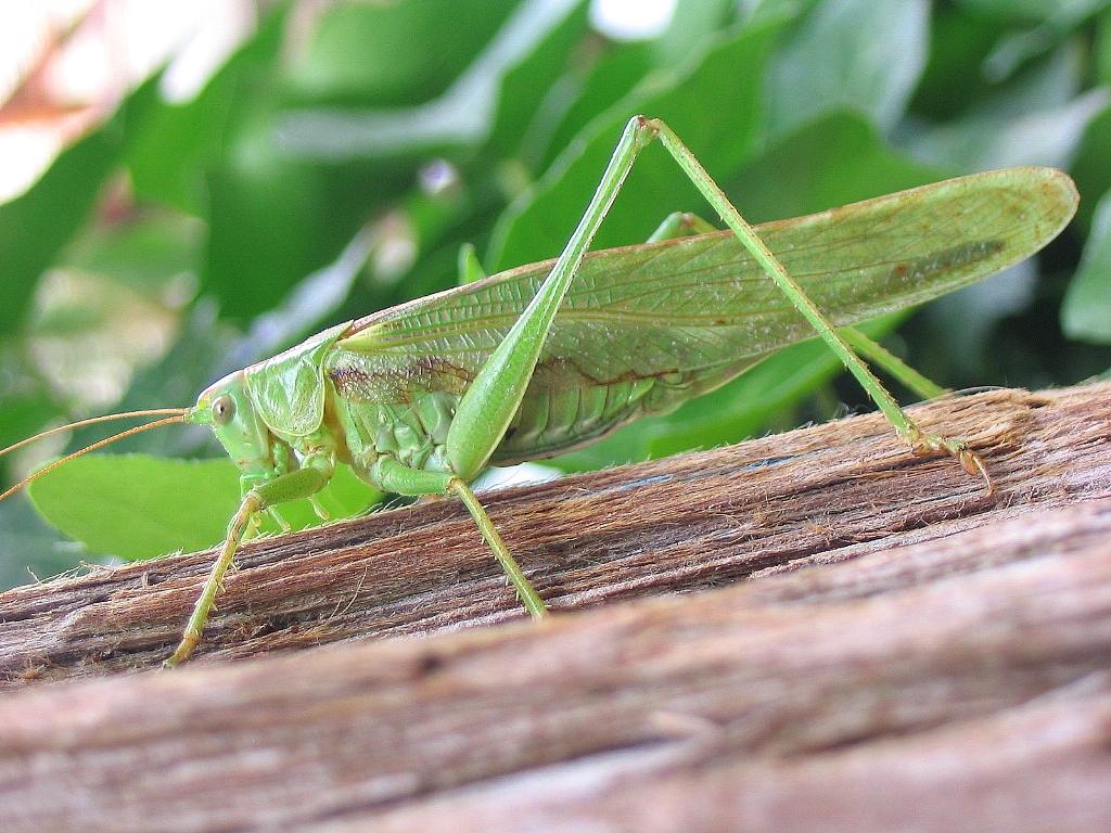 grosse sauterelle verte