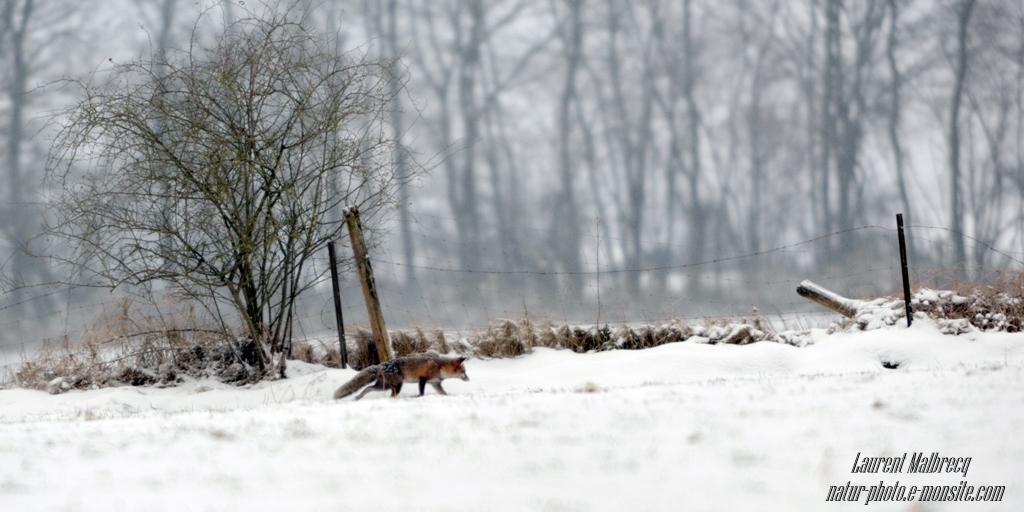 renard en quete d'un repas