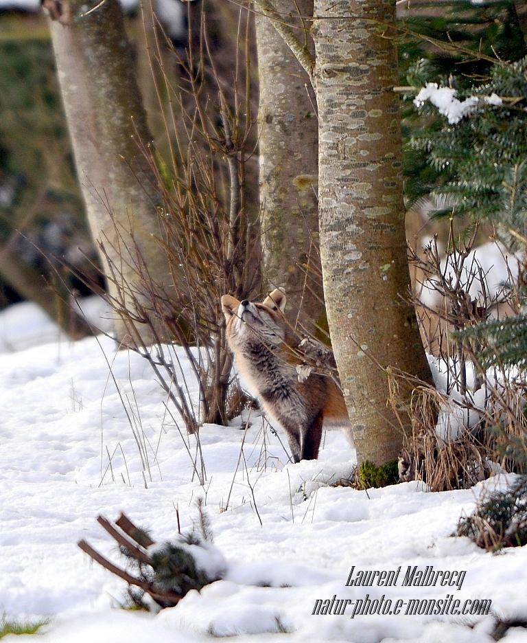 renard cherche apres le corbeau et son fromage