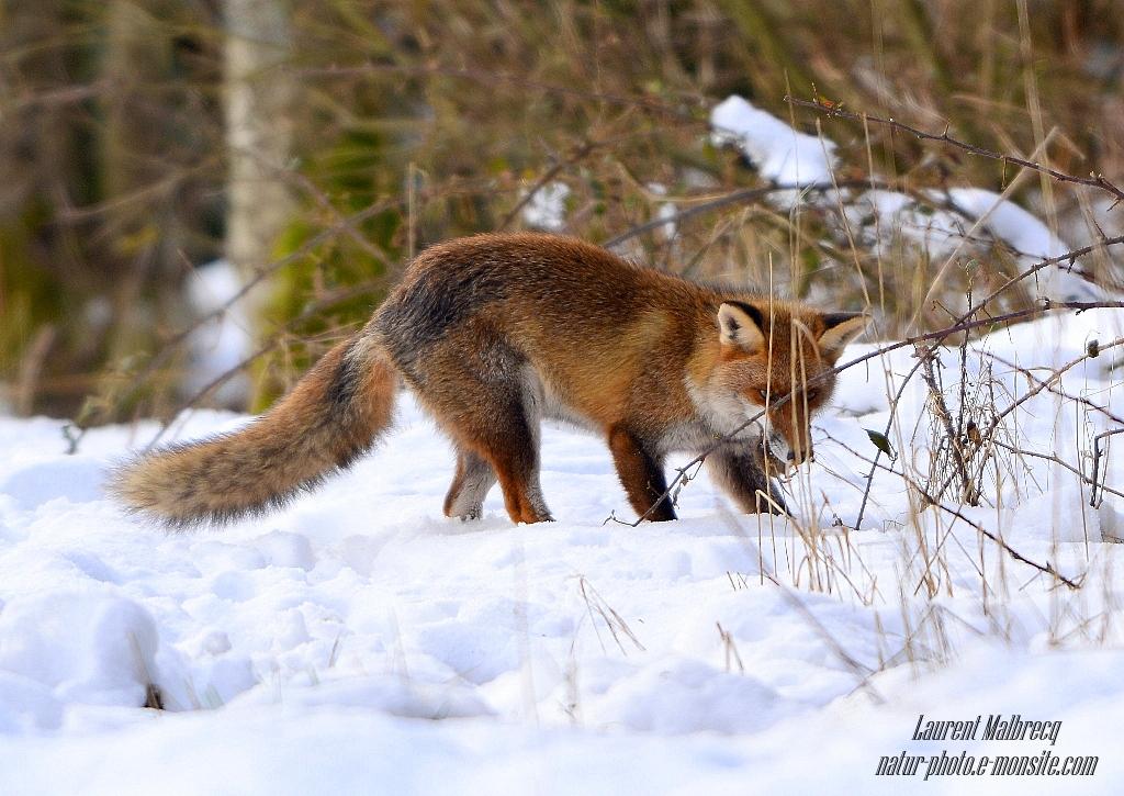 renard vient d'attraper un campagnol