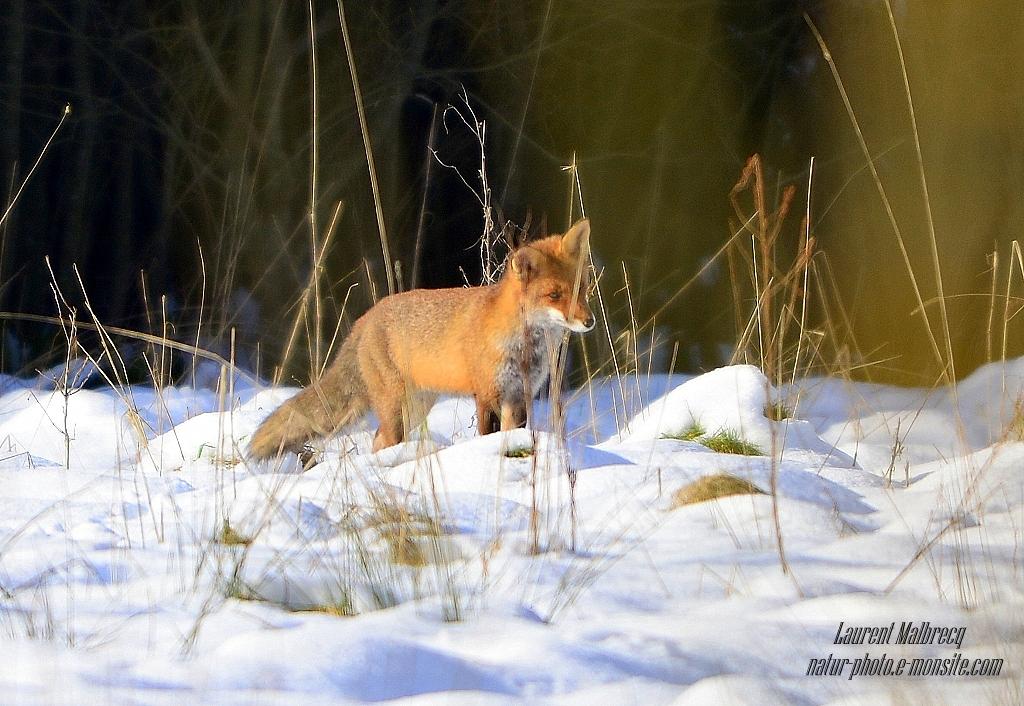 renard aux aguets 1