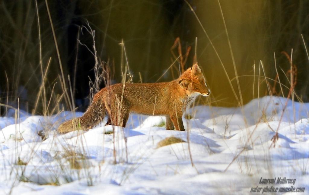 renard aux aguets 2